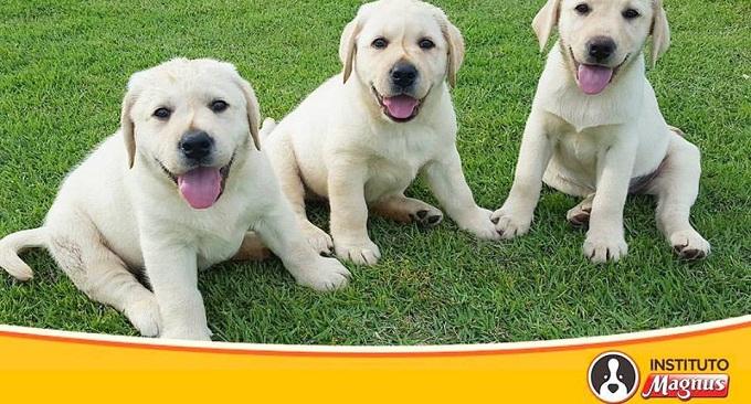 Instituto Magnus busca famílias para abrigarem futuros cães-guia